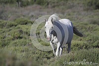 White horse in Camargue
