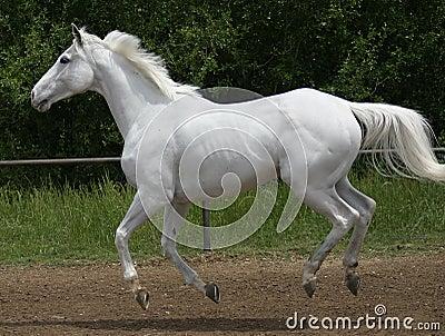 White horse canter
