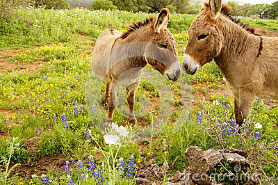 Kissing Donkeys
