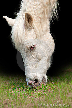 White horse closeup portrait
