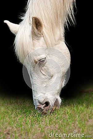 White horse closeup portrait