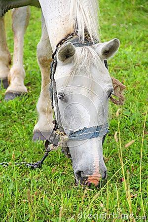 White horse eating grass - photo#18