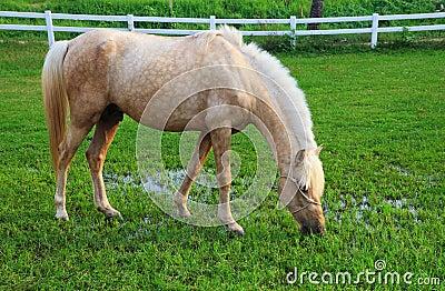 White horse eating grass - photo#27