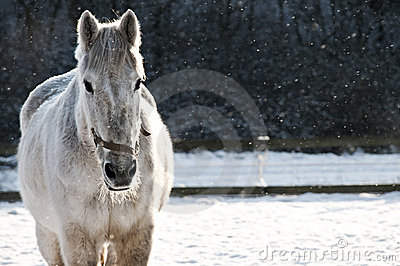 White horse frontal in sleet