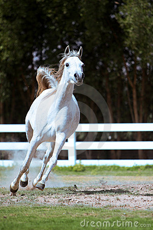 White horse galloping