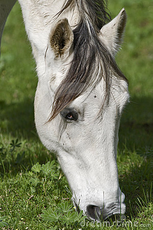 A white horse grazing in clover