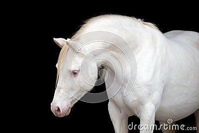 White horse isolated on black, Welsh pony