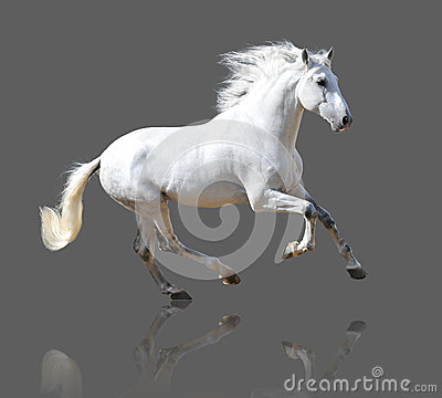 Free White Horse Isolated On The Gray Royalty Free Stock Images - 27103309