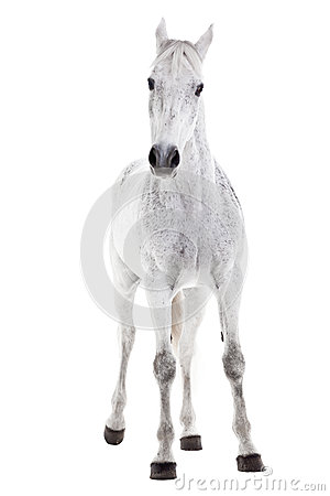White horse isolated on white
