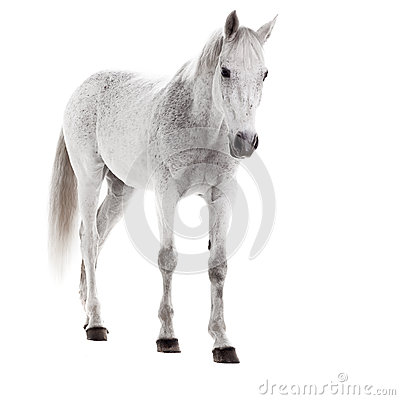 White horse isolated on white