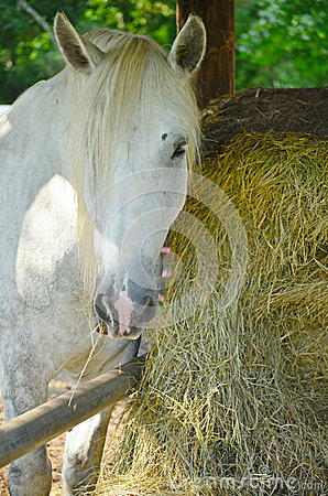 White Horse Mare Hay Bale Grazing