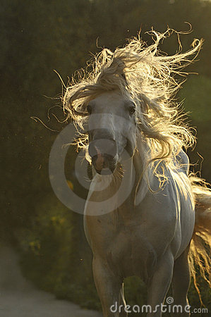 Free White Horse Move Hair Royalty Free Stock Photography - 11192427