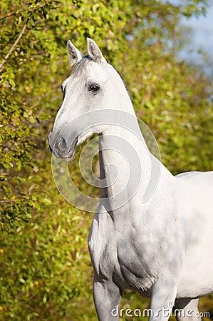 White horse Orlov trotter portrait