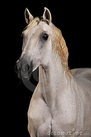 White horse portrait isolated black