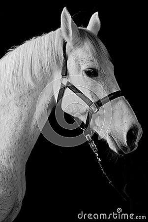 White horse portrait isolated on black