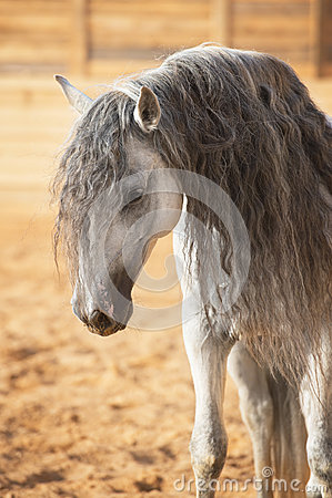 White horse portrait in manege