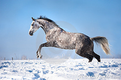 White horse portrait in motion in the winter