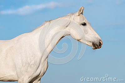 White horse portrait on the sky background