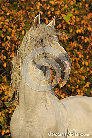 White horse pura raza espanola in autumn