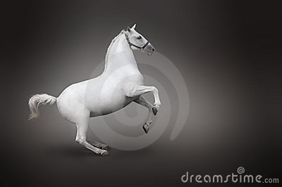White horse rearing side view isolated on black