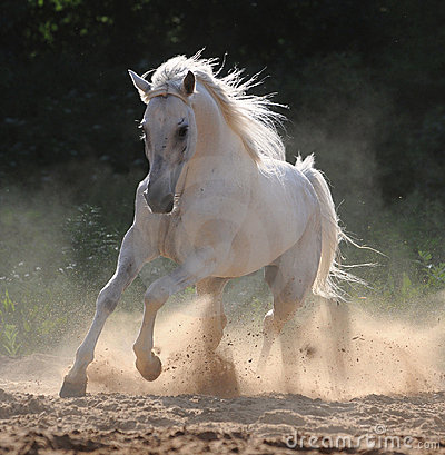 Free White Horse Runs Gallop Royalty Free Stock Image - 9420696