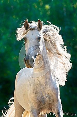 White horse runs gallop front