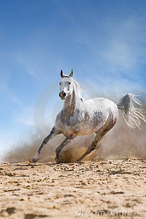Free White Horse Runs Gallop In The Dust Royalty Free Stock Photography - 19795317