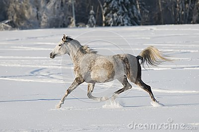 White horse runs trot