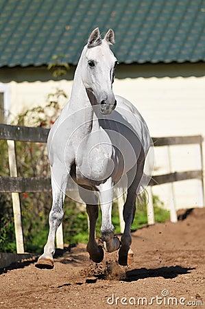 White horse runs trot in summer