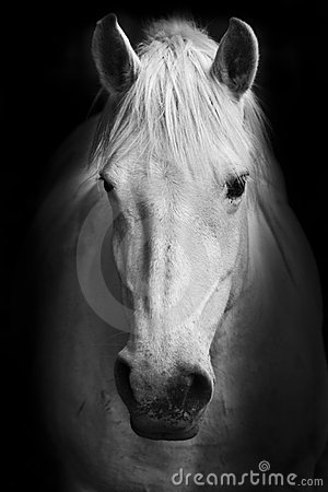 Free White Horse S Black And White Art Portrait Stock Images - 17368574