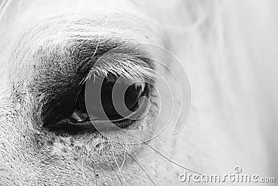 White horse s eye - black and white art portrait