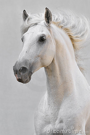 White horse stallion on gray background