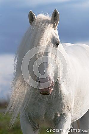 Free White Horse Stallion Portrait Stock Photos - 16408793