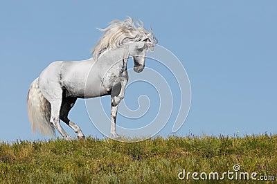White horse stallion portrait