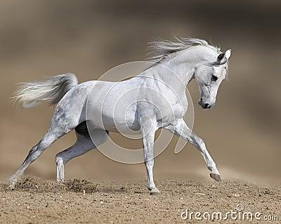 White horse stallion runs gallop in dust