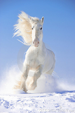 Free White Horse Stallion Runs Gallop In Front Focus Royalty Free Stock Photography - 23818667