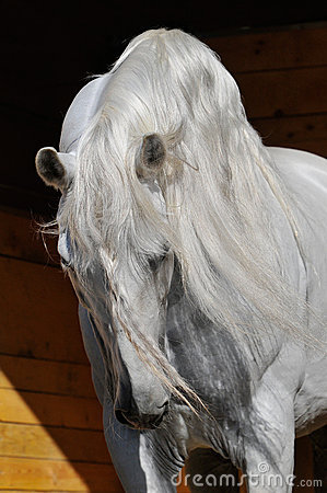 White horse stallion in the stable