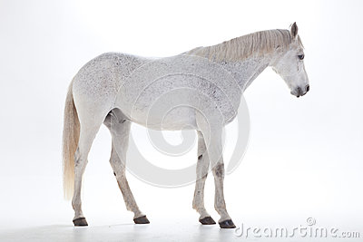 White horse in studio