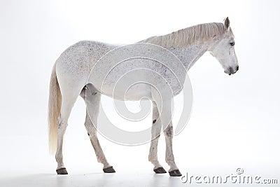 White horse in studio