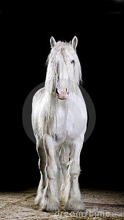 White horse. studio shot