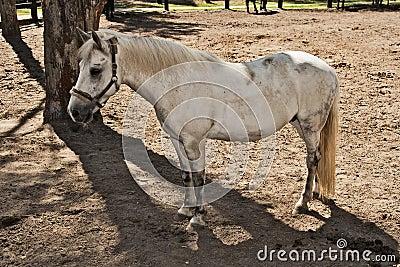 White horse suit