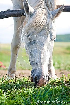 White horse in summer