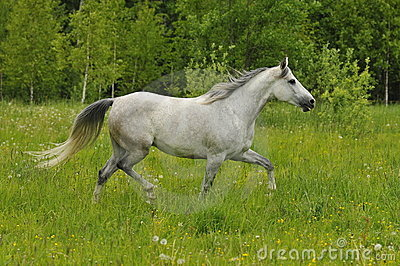 White horse trots on the meadow