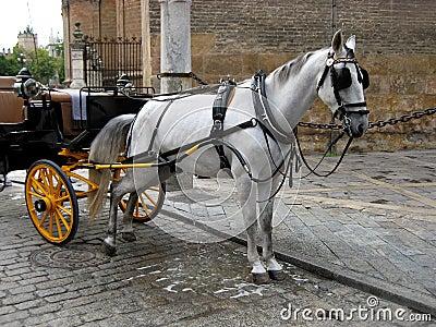 White horse urinating