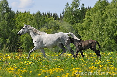 White horse whith foal trots on the meadow