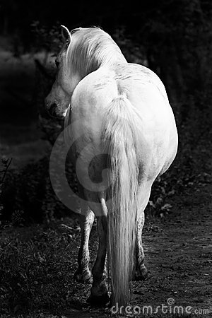 White horses - black and white art portrait