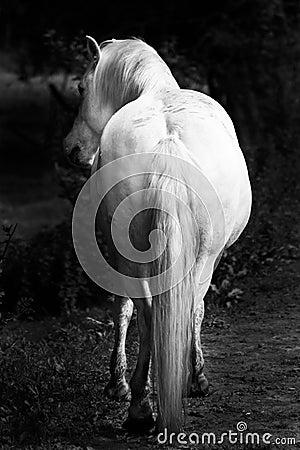 White horses - black and white art portrait