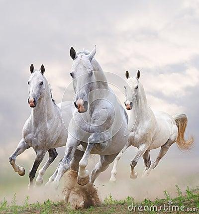 White horses in dust