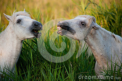 White horses eating grass and laughing