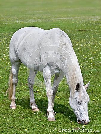 White horst